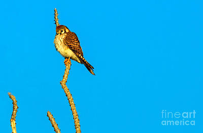 Photograph - American Kestrel  by Robert Bales