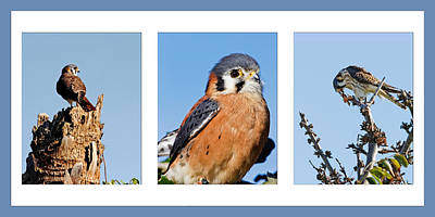 Photograph - American Kestrel Triptych by Dawn Currie