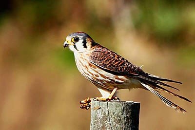 Photograph - American Kestrel With Bee by Ira Runyan