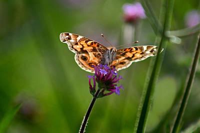 Photograph - American Lady Butterfly In Garden by Karen Adams