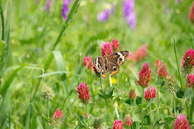 American Lady Butterfly Print by Mitch Wessels