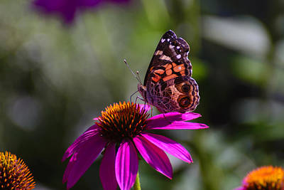 License Plate Skylines And Skyscrapers Rights Managed Images - American Lady Butterfly on Echinacea Flower 1 Royalty-Free Image by Steve Samples