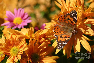 Photograph - American Lady On A Mum by Jeannette Hunt