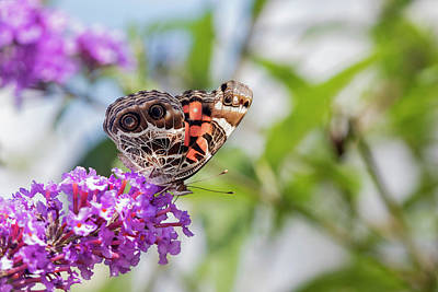 Vanessa Wall Art - Photograph - American Lady On Butterfly Bush by Richard and Susan Day