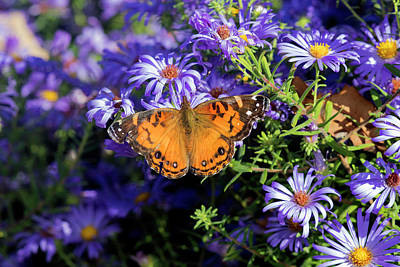 Vanessa Wall Art - Photograph - American Lady On Frikart's Aster, Aster by Richard and Susan Day