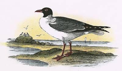 American Laughing Gull Art Print by English School