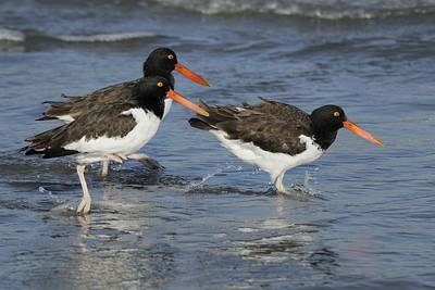 Photograph - American Oyster Catchers In The Surf. by Bradford Martin
