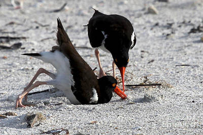 Photograph - American Oystercatcher by Meg Rousher