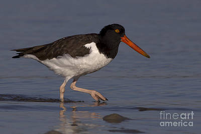 Photograph - American Oystercatcher Photo by Meg Rousher