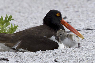 Photograph - American Oystercatcher With A Chick by Meg Rousher