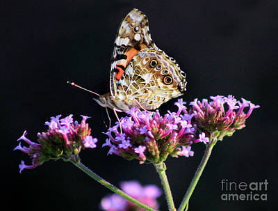 Photograph - American Painted Lady Butterfly Black Background by Karen Adams