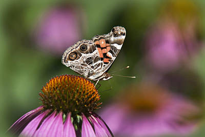 American Painted Lady Butterfly Print by Christina Rollo