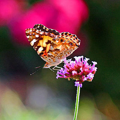 Photograph - American Painted Lady Butterfly Pink by Karen Adams