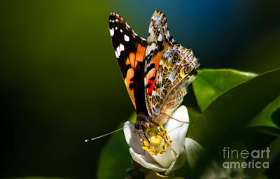 Vanessa Wall Art - Photograph - American Painted Lady Butterfly by Robert Bales