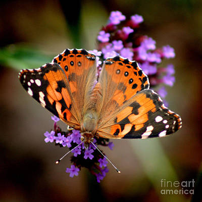 Photograph - American Painted Lady Butterfly Square by Karen Adams