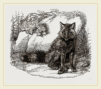 Red Fox Drawing - American Red Fox by Litz Collection