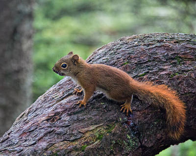 Photograph - American Red Squirrel by Jemmy Archer