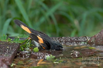 Redstart Photograph - American Redstart by Anthony Mercieca