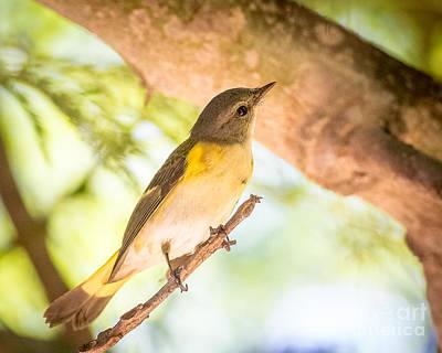 Redstart Photograph - American Redstart by Carl Jackson