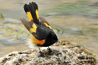 Redstart Photograph - American Redstart by Larry Ricker