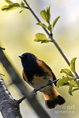 American Redstart Art Print by Natural Focal Point Photography