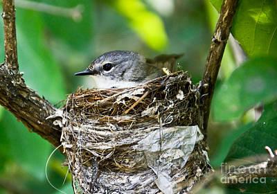 American Redstart Photograph - American Redstart Nest by Cheryl Baxter