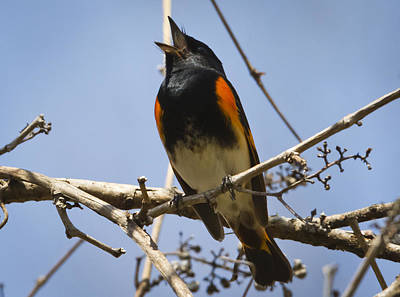 Photograph - American Redstart Singing by Ricky L Jones
