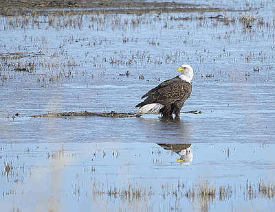Bald Eagle Photograph - American Reflection by Loree Johnson