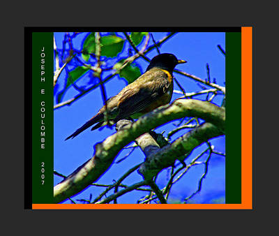 Photograph - American Robin by Joseph Coulombe