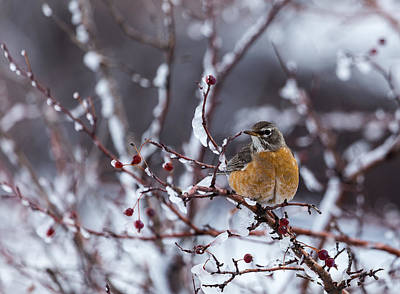 Photograph - American Robin by Michael Chatt