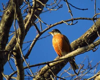 Robin Photograph - American Robin by Scott Cameron