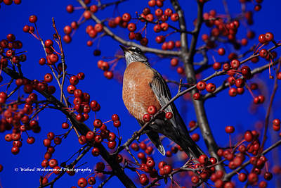 American Robin Art Print by Wahed Mohammed