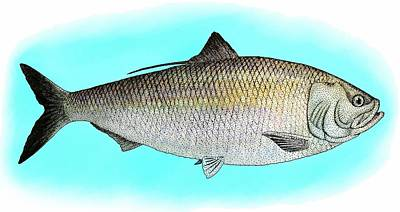 Photograph - American Shad by Roger Hall