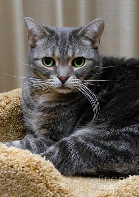 Portrait Photograph - American Shorthair Cat Portrait by Amy Cicconi
