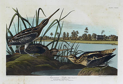 The Birds Photograph - American Snipe by British Library