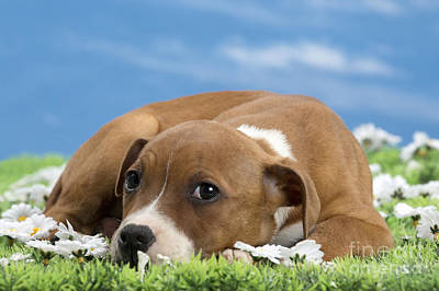 Pitbull Photograph - American Staffordshire Terrier Puppy by Jean-Michel Labat