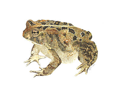 Painting - American Toad by Cindy Hitchcock