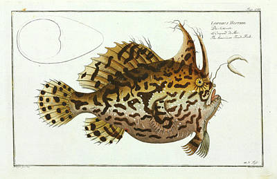 American Toad-fish Art Print by Natural History Museum, London