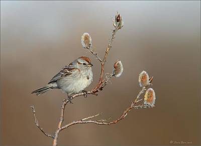 Photograph - American Tree Sparrow by Daniel Behm