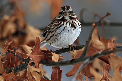 Photograph - American Tree Sparrow No 2 by Mike Martin