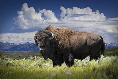Randall Nyhof Royalty Free Images - American Western Buffalo Royalty-Free Image by Randall Nyhof