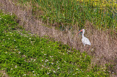 Photograph - American White Ibis In Marshes by Karen Stephenson