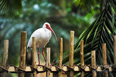 Landmarks Royalty Free Images - American White Ibis Royalty-Free Image by L Bee