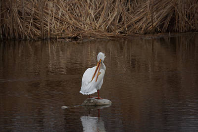 Photograph - American White Pelican by Ernie Echols