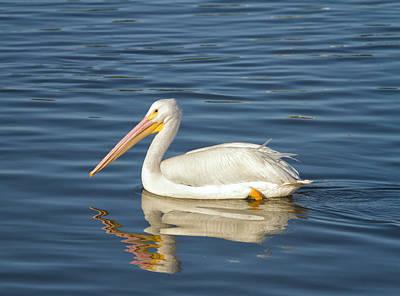 Photograph - American White Pelican by Kim Hojnacki