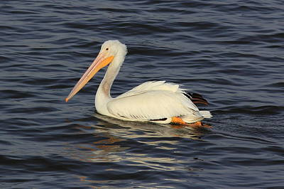 Photograph - American White Pelican Paddling by Scott Rackers