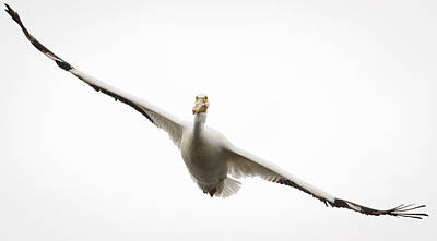Photograph - American White Pelican by Ricky L Jones