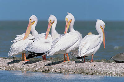 Photograph - Four American White Pelicans  by Yva Momatiuk and John Eastcott
