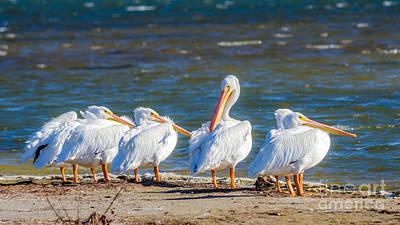 Photograph - American White Pelicans by Debra Martz