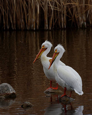 Photograph - American White Pelicans by Ernie Echols